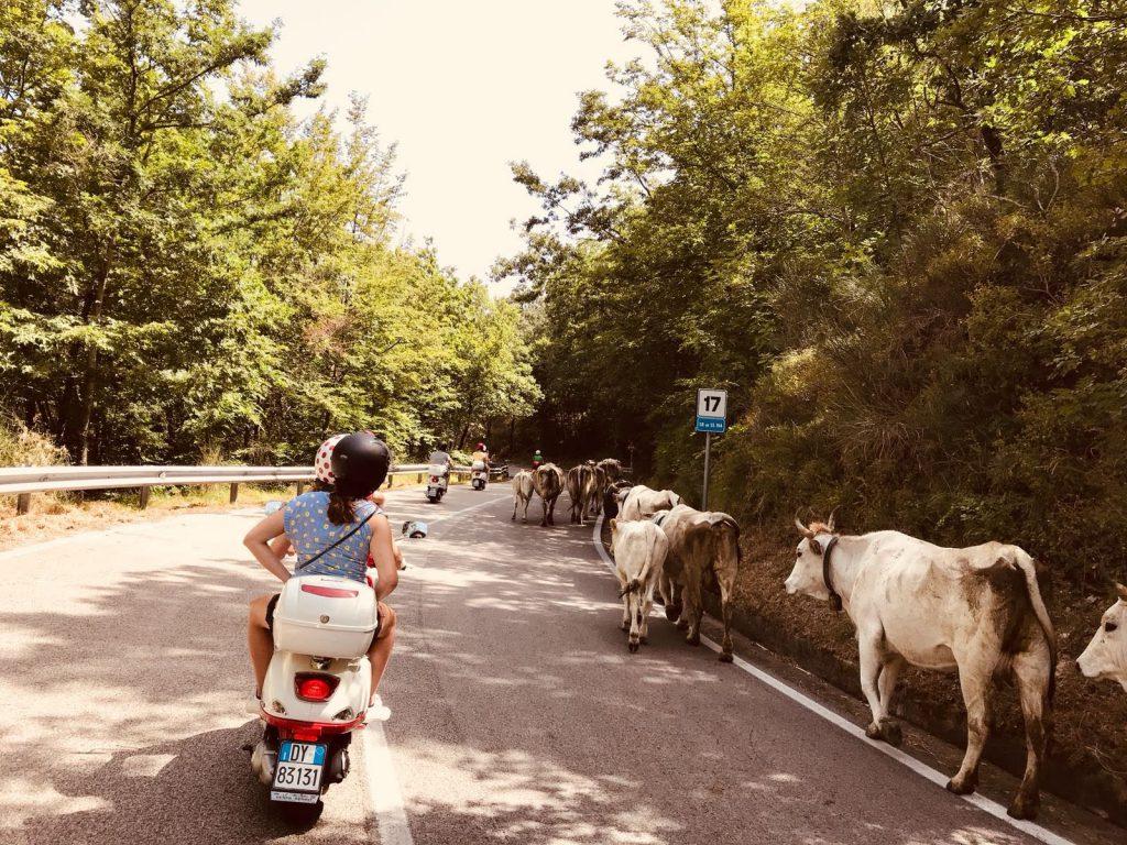 Koeien-op-de-weg